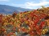 vineyard-autumn-2010-1